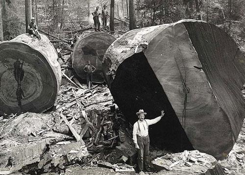 レッドウッド国立公園の巨木